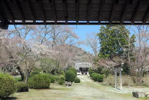 190405境内桜