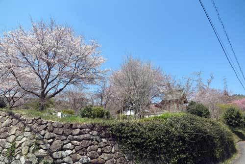 190405比曽寺桜