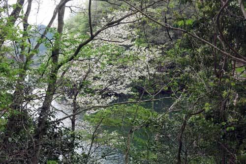 190425山桜