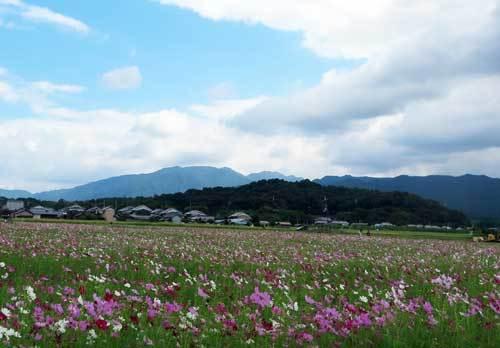 191006コスモス香久山