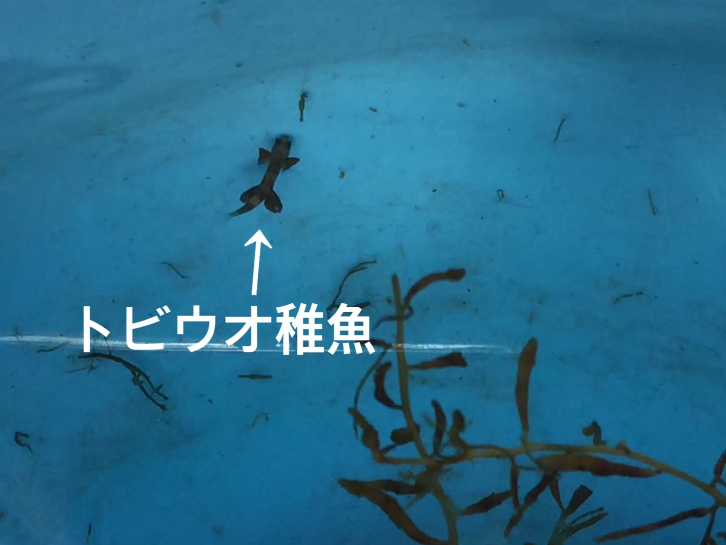 トビウオ稚魚