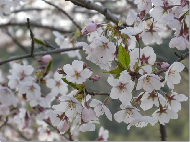 20190407桜散歩01-12