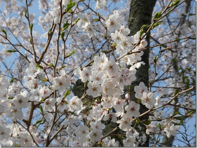 20190407桜散歩01-14