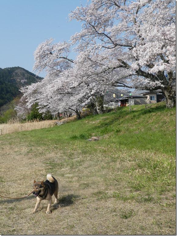 20190407桜散歩02-03