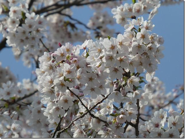 20190407桜散歩02-14
