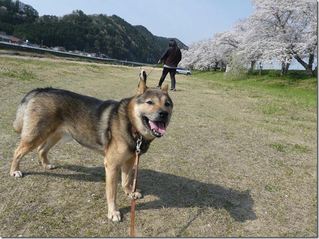 20190407桜散歩02-31