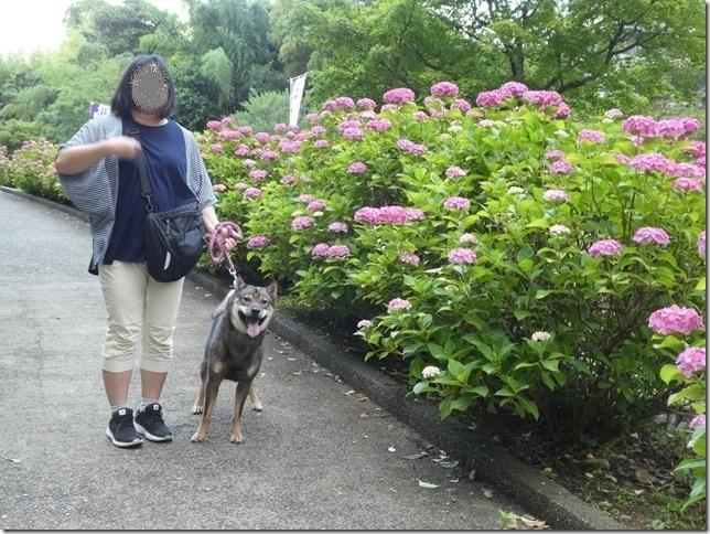 20190616花菖蒲-03