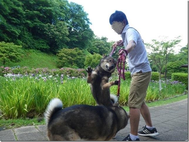 20190616花菖蒲-14