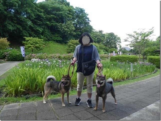 20190616花菖蒲-17