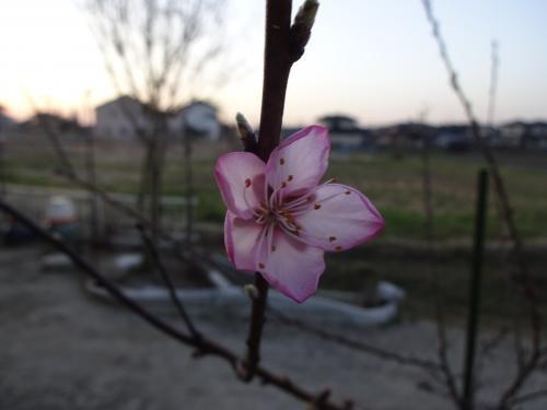 アーモンドの花が咲きました!!