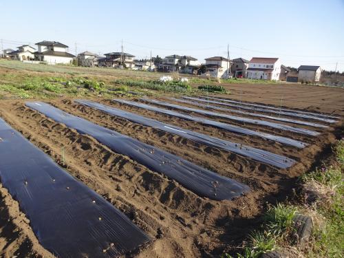 ジャガイモを植えました&タマネギの準備