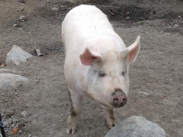 豚0114