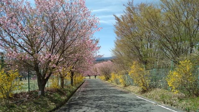桜並木0429