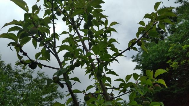 梅の実0616