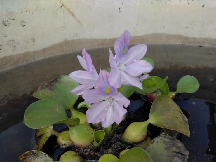 ホテイ葵1
