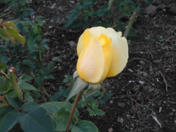 1811薔薇
