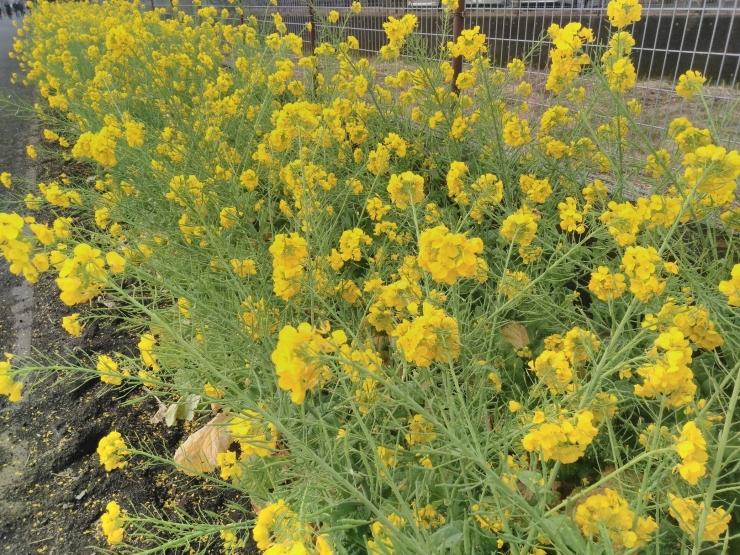 191菜の花