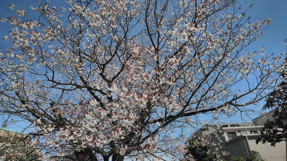 193桜1