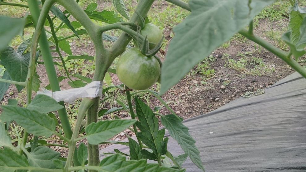 195トマト