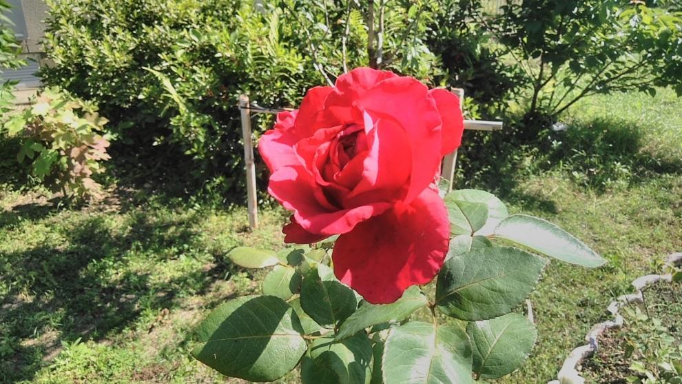 19521バラ