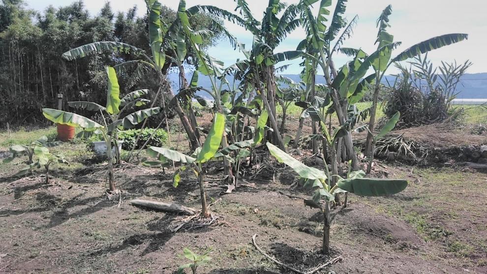 195バナナ畑2