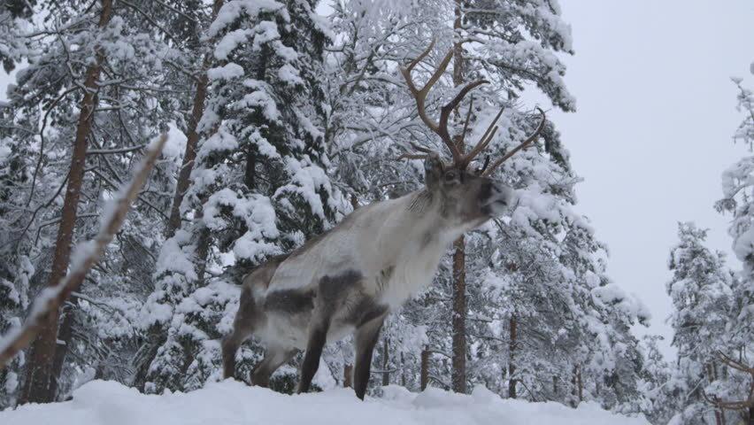 フィンランド鹿