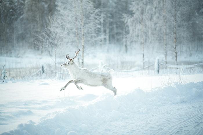 フィンランド鹿2