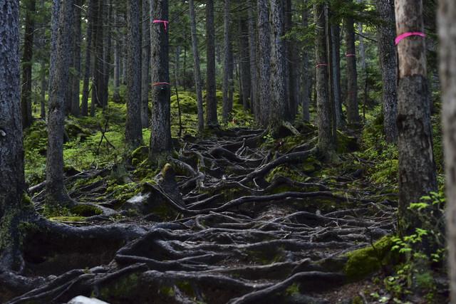 樅の木記事用暗い不気味な森画像