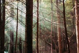 樅の木の記事用森写真