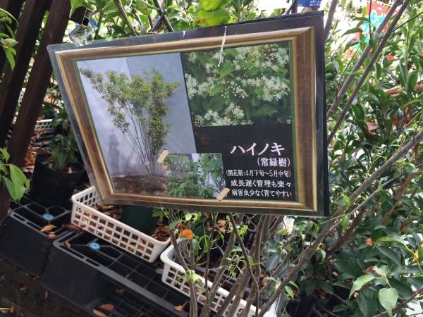 ハイノキ_IMG_1378