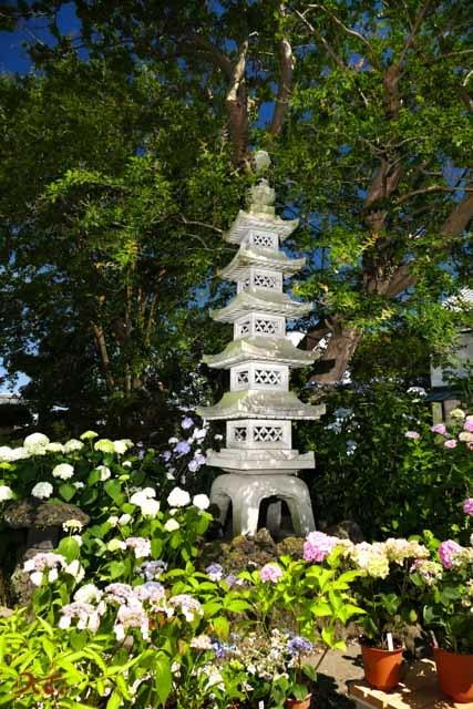 20190617紫陽花_能護寺11