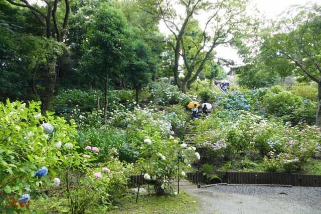 20190624紫陽花_保和苑12