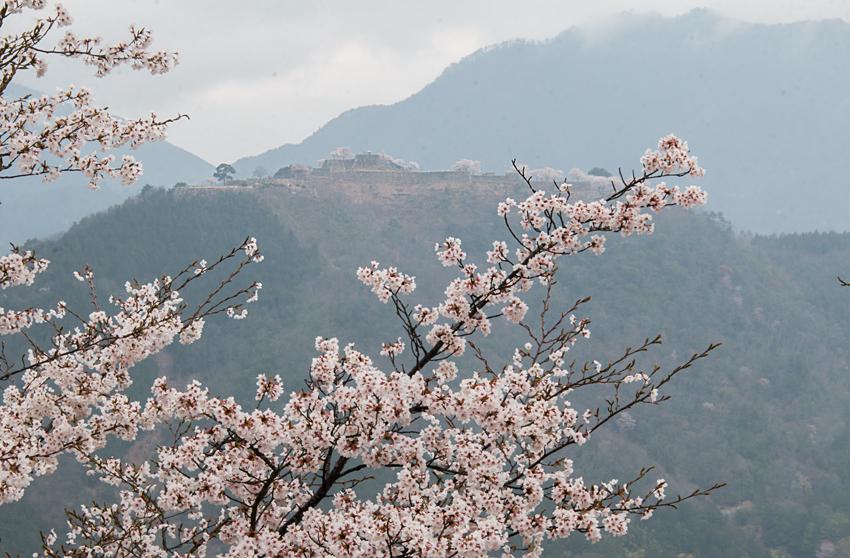 竹田城 桜2