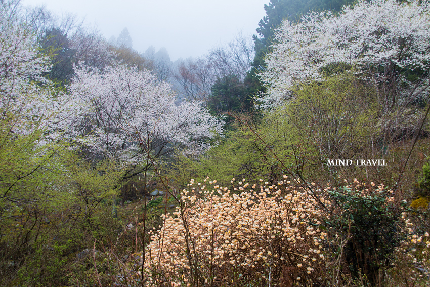 樽見の大桜付近3
