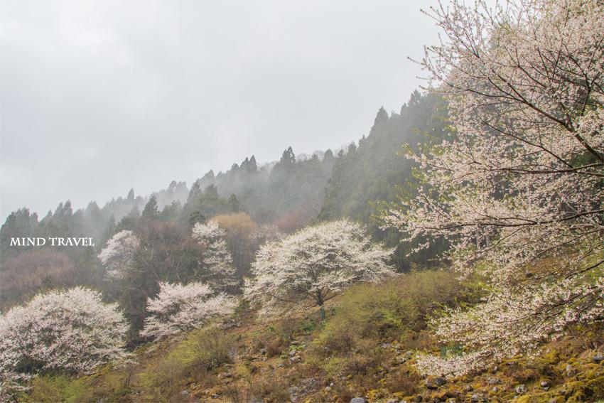樽見の大桜付近