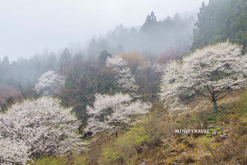樽見の大桜付近2
