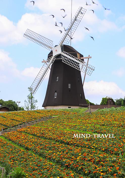 鶴見緑地公園 風車の丘 マリーゴールド