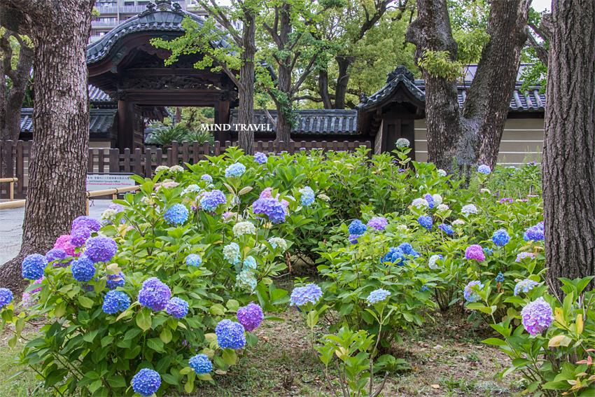 四天王寺 紫陽花