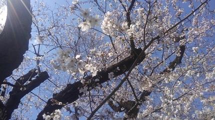 桜花2019