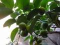 花柚子の実が豊作