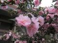 バラのような侘助椿