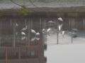 干上がった疎水で鳥達が