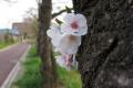 樹桜が今年も