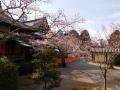 本堂横の桜