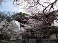 醍醐寺山門の桜