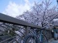 お馴染冷泉通の桜