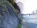 鴨川遊歩道と枝垂れ