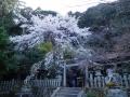 大豊神社本堂と枝垂れ