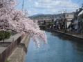 疎水地蔵桜jpg