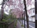 京都地裁の枝垂れ